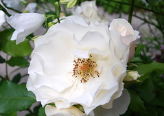 Bewahre mich, Herr, dass der Wahn (amras_de) Tags: rose rosen ruža rosa ruže rozo roos arrosa ruusut rós rózsa rože rozes rozen roser róza trandafir vrtnica rossläktet gül blüte blume flor cvijet kvet blomst flower floro õis lore kukka fleur bláth virág blóm fiore flos žiedas zieds bloem blome kwiat floare ciuri flouer cvet blomma çiçek frühling primavera proljece jaro forår spring printempo printemps earrach tavasz vor ver fréijoer pavasaris lente vår prima wiosna primavara ware jar pomlad