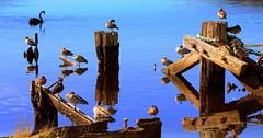 RESTING in the REFLECTIONS (Lani Elliott) Tags: nature naturephotography bird birds duck ducks woodducks water river oldjetty posts reflection reflections huonriver australia tasmania