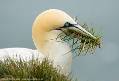 Gannet gathering nesting material (Steve Moore-Vale) Tags: bemptoncliffs birds england florafauna fotobuzz morusbassanus northerngannet places rspb unitedkingdom wildlife worldbirds yorkshire grass nestingmaterial places|unitedkingdom places|unitedkingdom|england places|unitedkingdom|england|yorkshire places|unitedkingdom|england|yorkshire|bemptoncliffs wildlife|birds|worldbirds|northerngannet nesting material