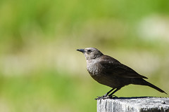 Brewer's Blackbird (female) (Minder Cheng) Tags: brewersblackbird yosemite yosemitevalley california unitedstates us