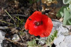 Παπαρούνα - poppy (Parnitha mount) (st.delis) Tags: παπαρούνα έντομα ελληνικήχλωρίδα πάρνηθα αττική ελλάδα poppy insects greekflora parnitha attica hellas