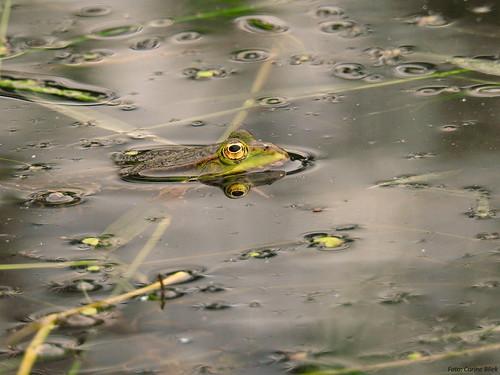Edible frog (Green frog, Common Water Frog)