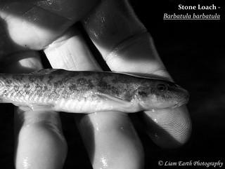 Stone Loach - Barbatula barbatula