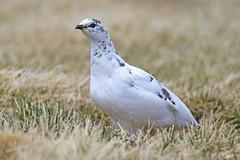 Lagópode Branco (F) - Rock ptarmigan (F) - Lagopus muta (Yako36) Tags: iceland bird ave birdwatching nature natureza wildlife tc14e nikonafs300f4 nikond7000