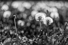 Who Has the Mower? (dshoning) Tags: hmbt field dandelions weeds blackandwhite spring