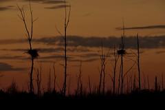 Sundown (Roger Daigle) Tags: sunsets blue heron nests nikon