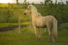Derringur (Anna.Andres) Tags: derringur derringurfrávelli annaguðmundsdóttir iceland ísland íslenskihesturinn icelandichorses horses hestar horse skeggjastaðir