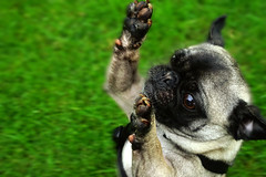 DSC08984 (bill stanton) Tags: pug pugs puppy puppies cute dog dogs sony alpha sonya7 sonyalpha a7 a7ii a7m2 mirrorless pets pet antics funny weird hilarious jumping grass doggie