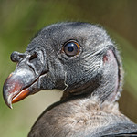 King vulture? thumbnail