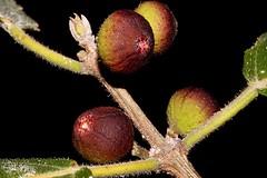 Ficus opposita (andreas lambrianides) Tags: moraceae sandpaperfig creeksandpaperfig australianflora australiannativeplants australianrainforests australianrainforestplants qrfp ntrfp arfp arffs openforest ficusopposita warfp cyprfp ficusoppositamiqvaropposita ficusxerophila ficusyarrabensisdomin ficuscumingiimiq ficusorbicularisficusbecklerimiq ficuscumingiivarandrobrota ficusfitzalaniimiq monsoonforest beachforest maroonarffs