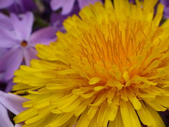 Dandelion in Creeping Phlox (thatSandygirl) Tags: purple yellow phlox creepingphlox dandelionn weed flowers blosssom bloom spring summer ohio bright colorful subulata
