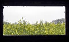 Rapeseed through the window (Tony_Brasier) Tags: tamron 70300mm fram rape seed trees oil faversham me17 motorway m2 nikon d7200 kent