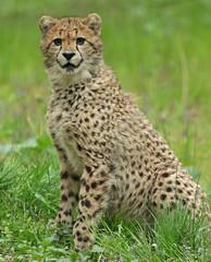 cheetah burgerszoo BB2A7129 (j.a.kok) Tags: cheetah jachtluipaard afrika africa cat kat predator acinonyxjubatus acinonyxjubates burgerszoo mammal zoogdier dier animal