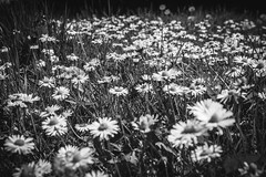 M O N O S P R I N G (NVOXVII) Tags: flowers daisies field spring bloom bnw canon m10 blackandwhite monochrome grass artistic lowdown perspective carpet highcliffe dorset nature beauty