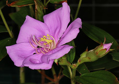 Tibouchina (Jenny Thynne - trying to catch up once again) Tags: flower tibouchina plant australiannativeplant brisbane queensland australia