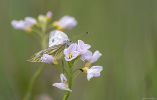Swinging at Cuckoo-flower