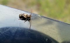 table.beetle (C.Kalk DigitaLPhotoS) Tags: käfer beetle insekt insect animal tier macro makro blue blau outdoor tisch table