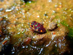 A pretty looking Jewel Shield Bug (Tetrarthria variegata) (GC G@n) Tags: scutelleridae tetrarthria variegata