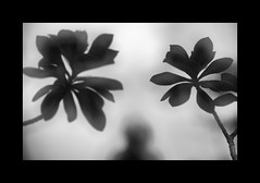 F_47A0564-1-BW-Canon 5DIII-Canon 70-300mm-May Lee 廖藹淳 (May-margy) Tags: 起風的時候 maymargy bw 黑白 人像 背影 剪影 樹葉 重複曝光 模糊 散景 街拍 streetviewphotographytaiwan 線條造型與光影 linesformandlightandshadows 天馬行空鏡頭的異想世界 mylensandmyimagination 心象意象與影像 naturalcoincidencethrumylens 臉譜 facesinplaces 台北市 台灣 中華民國 f47a05641bw portrait viewfromback silhouette doubleexposure leaves taipeicity canon5diii canon70300mm maylee廖藹淳