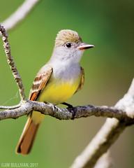 Great Crested Flycatcher by Jim Sullivan (jb.sullivan) Tags: great crested flycatcher chinook fwa clay county jim sullivan