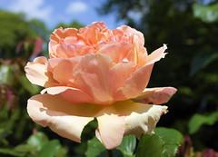 paris-159 (gabriel_flr) Tags: paris france seine ladéfense toureiffel bateaux grandearche gabrielflr gabrielflorea blueskies puteaux courbevoie macron investitureduprésident notredame rose roses rosen trandafiri trandafir blooms blumen fleures rosa