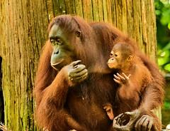 BOR_9529 (lucvanderbiest) Tags: orangoetang borneo maleisië sabah sepilok orangoetangrehabilitationcenter
