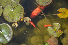 Lucky (AngelBeil) Tags: koi fish pond makeawish