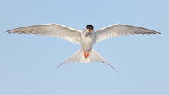 Dilemma! (bmse) Tags: forsters tern bolsachica tossing 2fer bmse salah baazizi wingsinmotion canon 7d2 400mm f56 l