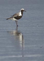 Black-bellied Plover, Waldport, OR_1387(1) (Patterns and Light) Tags: 2017 oregon lincolncounty pluvialis squatarola pluvialissquatarola beach reflection shorebird bird