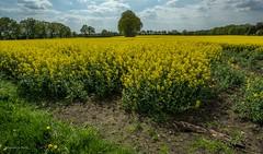 Nordheide - Rapsfeld (Pana53) Tags: photographedbypana53 pana53 naturundlandschaftsfotografie landschaftsaufnahmen landscape landwirtschaft ackerbau erträge farbe gelb pflanzen outdoor acker feld anbau saatgut saat lebensmittel nikond810 nikon