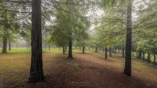 Las sequoias de Poio