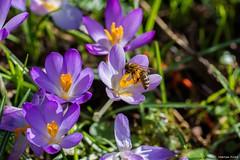 DSC_4881 (Marlon Fried) Tags: biene bee frühling spring krokus