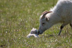 Beautiful moment (Saarblitz) Tags: beautifulmoment schaf nachwuchs baby natur tiere