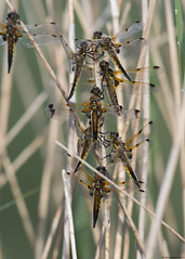 Four-spotted chaser : Libellula quadrimaculata (Jerry Hawker) Tags: fourspottedchaser libellulaquadrimaculata somerset fourspotchaser dragonfly dragonflies somerstlevels dew water glisten jerryhawker