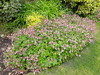 A type of Geranium macrorrhizum ('Ingwersen's Variety'?) (wallygrom) Tags: england westsussex angmering highstreet