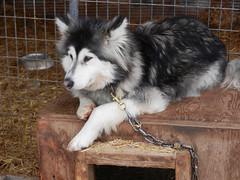 Pensive dog (lmundy2002) Tags: dogs dogsled dogsledding huskies sleds whitefish olney whitefishmt olneymt montana mt winter wintersports
