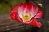 20170520_223_2 (まさちゃん) Tags: くりはま花の国 ポピー 雌しべ 雄しべ 雌蕊 雄蕊