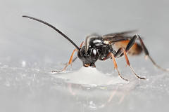 Small ichneumon wasp #3 (Lord V) Tags: macro bug insect wasp ichneumon