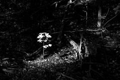 Rayon de lumière/Ray of Light (bob august) Tags: 2017 2017©rpd'aoust ahuntsic arbres bw blackwhite boisé boisésaintsulpice canada d90 feuilles juin june leafs lumièredumatin montréal morninglights nikkor18300mm nikon nikond90 noiretblanc parc park printemps spring trees montréal québec