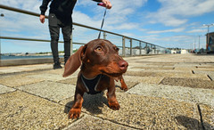 Darcy The Dachshund (Allan Jones Photographer) Tags: miniaturedachshund dachshund darcy puppy bitch femaledog younganimal dog canine royalwilliamyard walkies wideangle 14mm allanjonesphotographer canon5d3 samyang14mmf28 primelens cute thisphotorocks