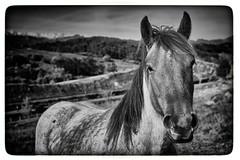 Horse-Landscape. Caballo-Paisaje. B&W (hajavitolak) Tags: a7 csc captureone evil fullframe fx ilce7m2 milc mirrorless sinespejo sony sonya7ii sonya7m2 emount paisaje landscape caballo horse bn bw animales animals zeiss za zeiss5518