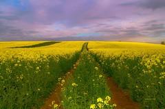 champ de colza. (gillesfournier005) Tags: champ jaune ciel couleurs vert d5100
