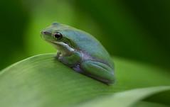 Kiss me I'm really a prince (archie0) Tags: frog green macro