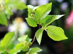 02-IMG_8592 (hemingwayfoto) Tags: baum blatt feldulme flügelnuss laubbaum pflanze ulmeminor