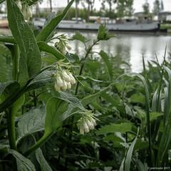 au bord du canal, la Consoude (Patrice Dx) Tags: fleur canal péniche profondeurdechamp consoudeofficinale symphytumofficinale