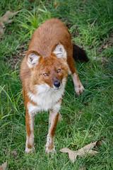 Ms Kono (ToddLahman) Tags: chinese dhole chinesedhole wild dog wilddog sandiegozoosafaripark safaripark canon7dmkii canon canon100400 portrait outdoors grass mammal beautiful
