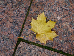 Yellow maple leaf on the granite floor (phuong.sg@gmail.com) Tags: asia asian autumn beautiful beauty bridge color colorful culture east fall foliage forest garden ginkgo japan japanese landscape lantern leaves maple natural nature nikko oriental osaka outdoor park peaceful red relaxation religion scene season serene spiritual stone temple tourism traditional travel tree water yellow zen