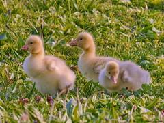 Goslings (Corine Bliek) Tags: gansjes geese ganzen soepganzen klein small bird birds vogels vogel parks parken jongen cute anseranserformadomestica newborn young spring voorjaar lente