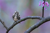 Oreo Cookie (PhillymanPete) Tags: songbird color bird nature migration wildlife baldpatemountain beauty spring warbler blackandwhitewarbler flower hopewelltownship newjersey unitedstates us nikon d800e