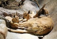Relaxing With Mom (greekgal.esm) Tags: nubianibex ibex animal mammal baby babyanimal goat hoofstock